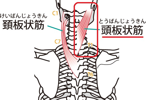 頭板状筋の説明