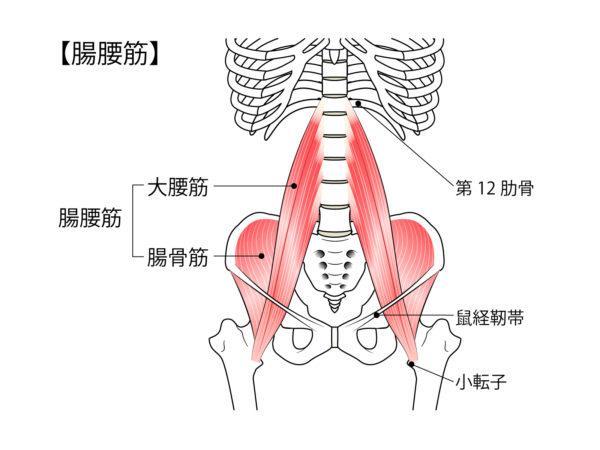腸腰筋の説明