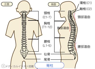 背骨の生理的湾曲