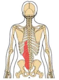 腰腸肋筋(ようちょうろっきん)