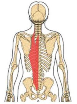 脊柱起立筋とは