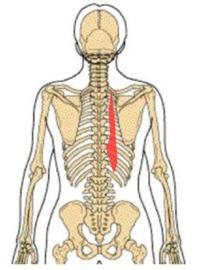 胸腸肋筋(きょうちょうろっきん)